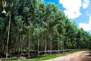 1-silvicultura-eucalipto-fabrica-energia