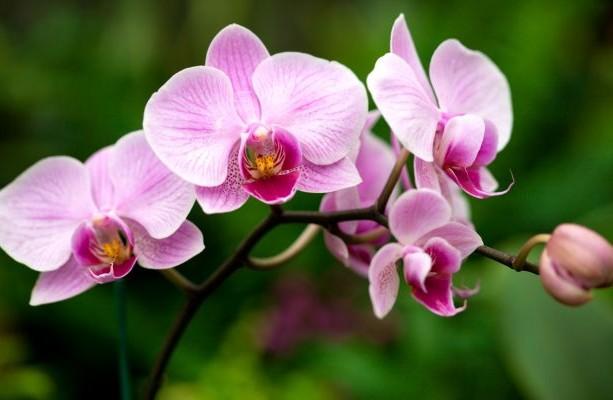 tipos_de_flores_orquideas